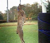 Strange: Teen accused of killing a bobcat did not hang it from a goalpost