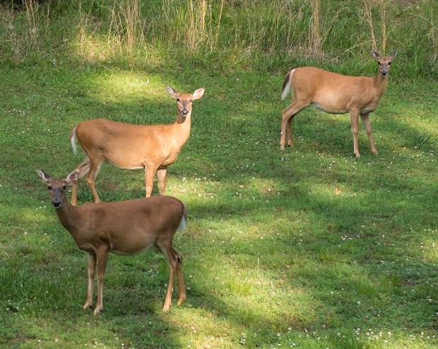 1 out of 147: Odds of hitting a deer in Tennessee