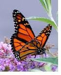 Recycle Rutherford's Annual Meeting 7PM Monday | Recycle Rutherford's Annual Meeting 7PM Monday; MTSU Dr. Andrew Brower, Monarch butterfly, Rutherford County Courthouse, WGNS