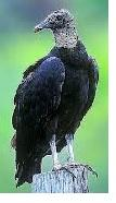 Farm Bureau Helping with Black Vulture Attacks on Livestock