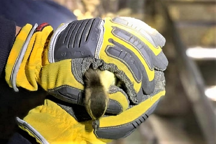 Ladder 4 from Murfreesboro Fire Rescue on Medical Center Parkway rescued four ducklings that fell into a storm sewer Sunday evening near the hospital.