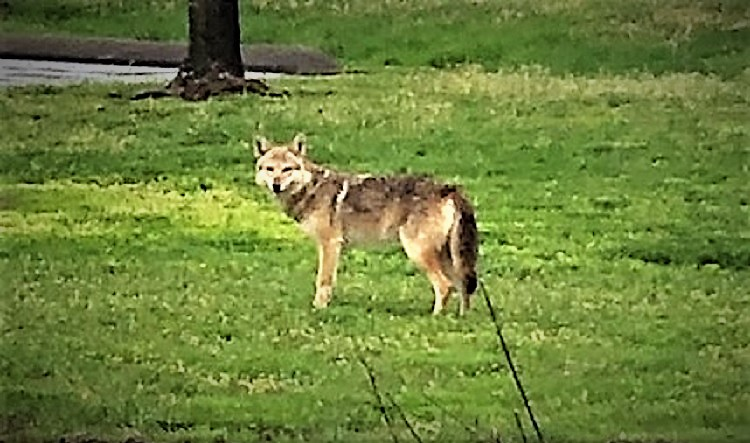 Coyote Spotted Off Highland Avenue