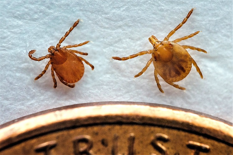 Asian Longhorned Tick NOW In Tennessee!