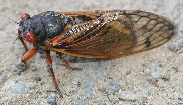 Sound of Summer - Cicadas in RuCo